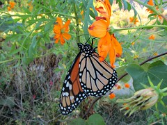 It's Monarch butterfly's migration time