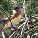 IMG_8965 Bay-breasted Warbler