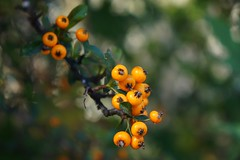 Pyracantha 'Teton' (firethorn)