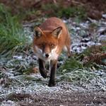 Purbeck Fox 16-11-30-0043