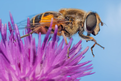 Drone Fly (Hoverfly) on a Knapweed Flower