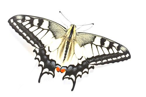 Swallowtail Papilio machaon ssp. gorganus