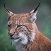 Luchs by christianweber2405