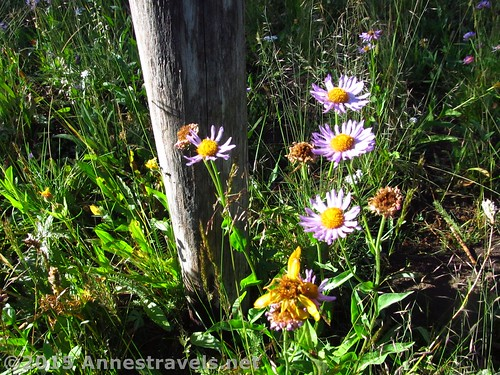 Wildflowers near one of the fenceposts while climbing Lava Mountain near Togwotee Pass, Bridger-Teton National Forest & Shoshone National Forest Wyoming