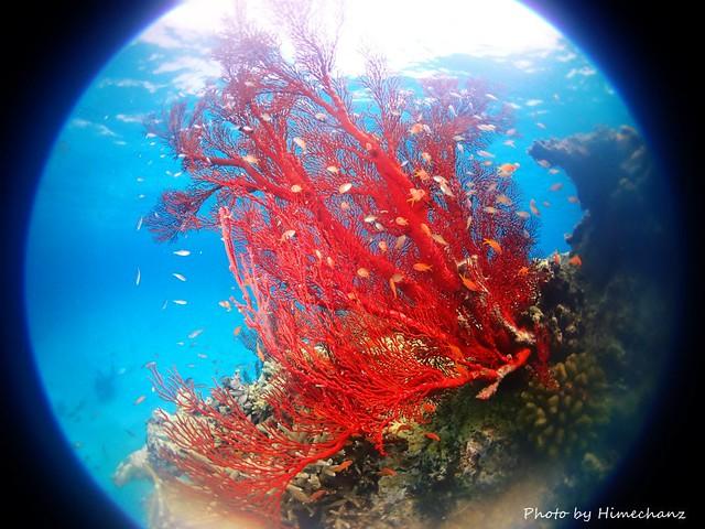 真っ赤なイソバナにキンギョハナダイ幼魚