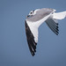 Sabine's Gull--Xena sabini by Dave_Lawrence