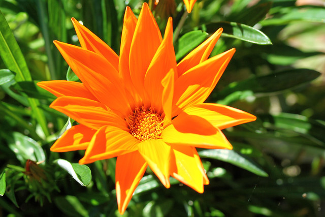 flower orange gazania