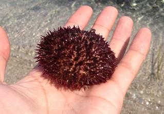 rebun-island-sankaku-beach-sea-urchin02