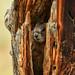 Baby Marmot in a Tree Trunk by Jeff Clow