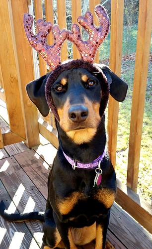 Doberman Puppy Ready for her first Christmas - Lapdog Creations