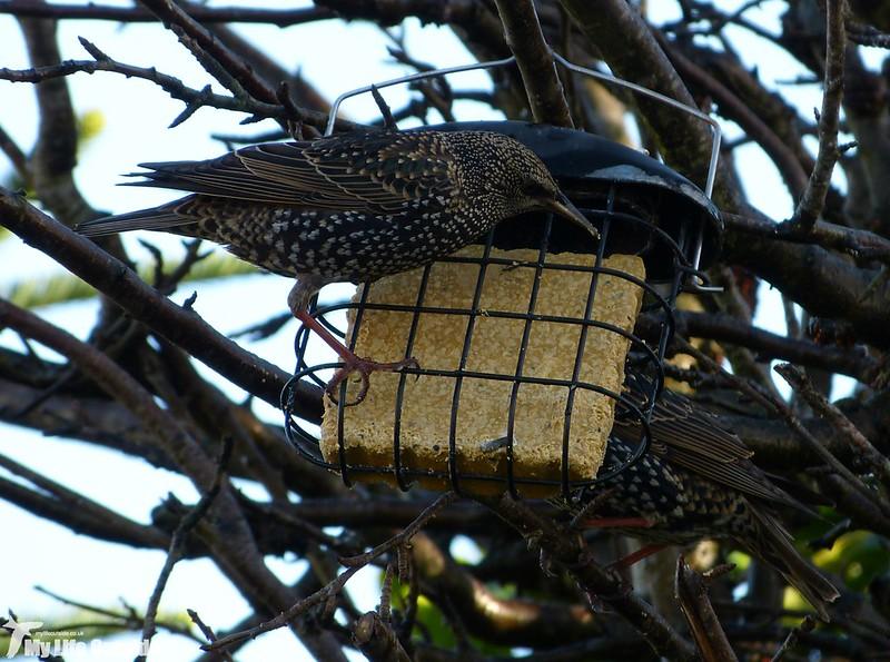 P1160899 - Garden Starlings