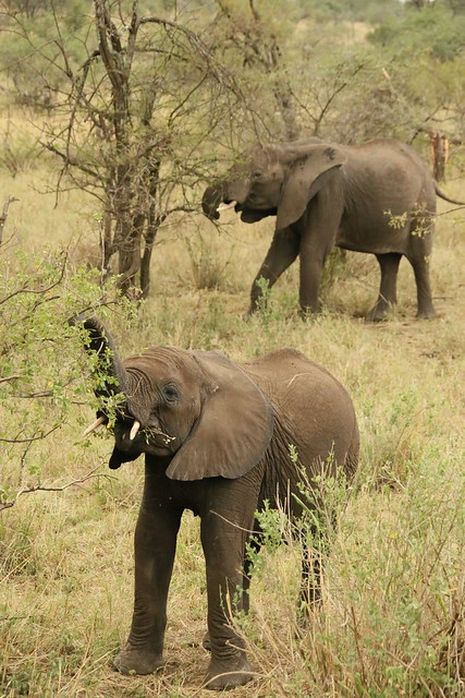 Elephant in the background with stunted trunk