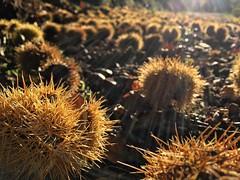 Ceuillette du jour #chestnuts #autumn #cevennes #gard #camprieu #afternoon #mountains #holidayseason