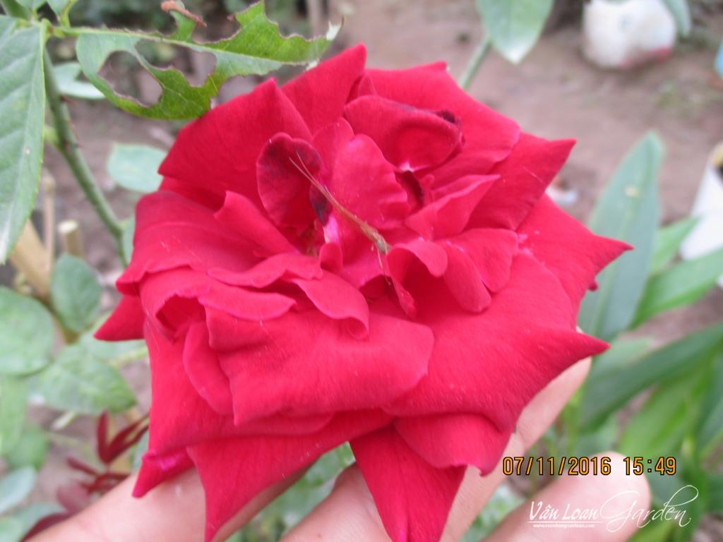 hoa hong nhung sa dec (1)-vuonhongvanloan.com