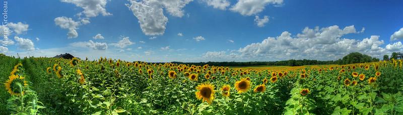Des champs couvert de tournesols chez Passion Lavande!