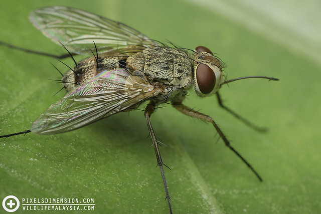 Fly extending proboscis