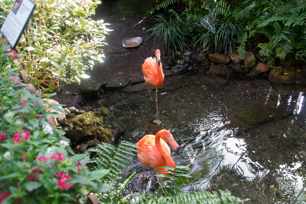 Flamingos in water at butterfly conservatory