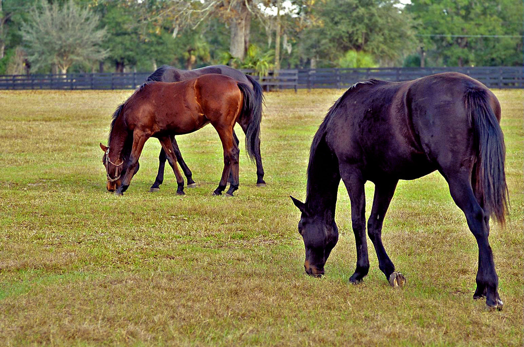 Horses Grazing, near Ocala