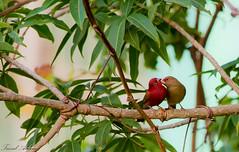 Red billed Firefinch birds ♥