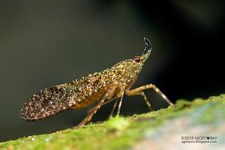 Planthopper (Enhydria sp.) - DSC_4107