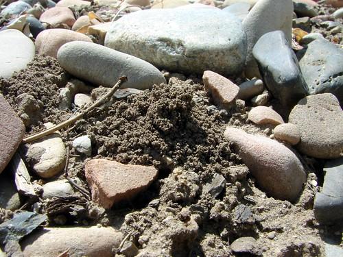 Burrow dug by female Halictus rubicundus bee amid pebbles