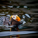 Portrait of Tufted puffin 花魁鳥 by T.ye