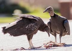 Eating at the drive-thru. Black vultures finishing up a rabbit killed by a car. #vulture #rabbit #coragypsatratus