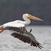 White Pelican at Reelfoot Lake by asparks306