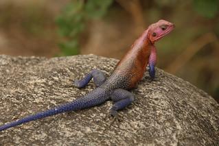 The Agama lizard.