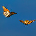 Monarch Butterflies in Flight by Patricia Ware