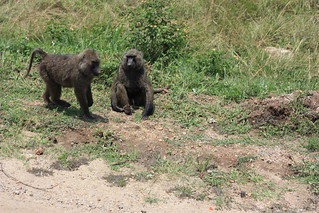 Baboons on the roadside