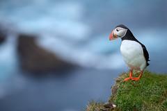 Macareux moine #2 [ Unst ~ Îles Shetland ]