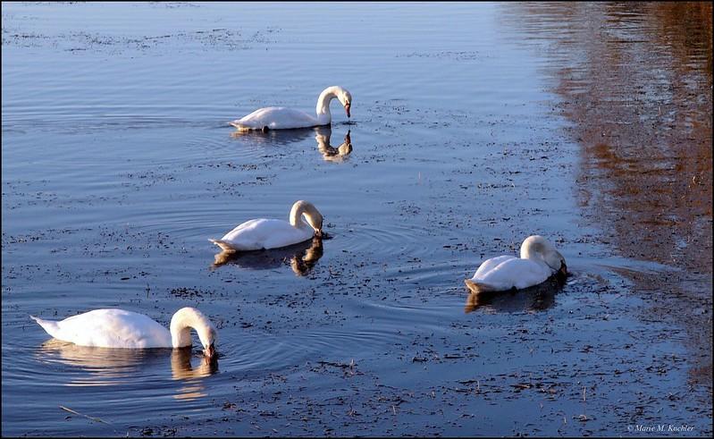 Lac des cygnes  23614180730_77a4bc863d_c
