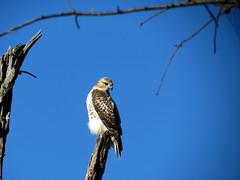 hawk on stump