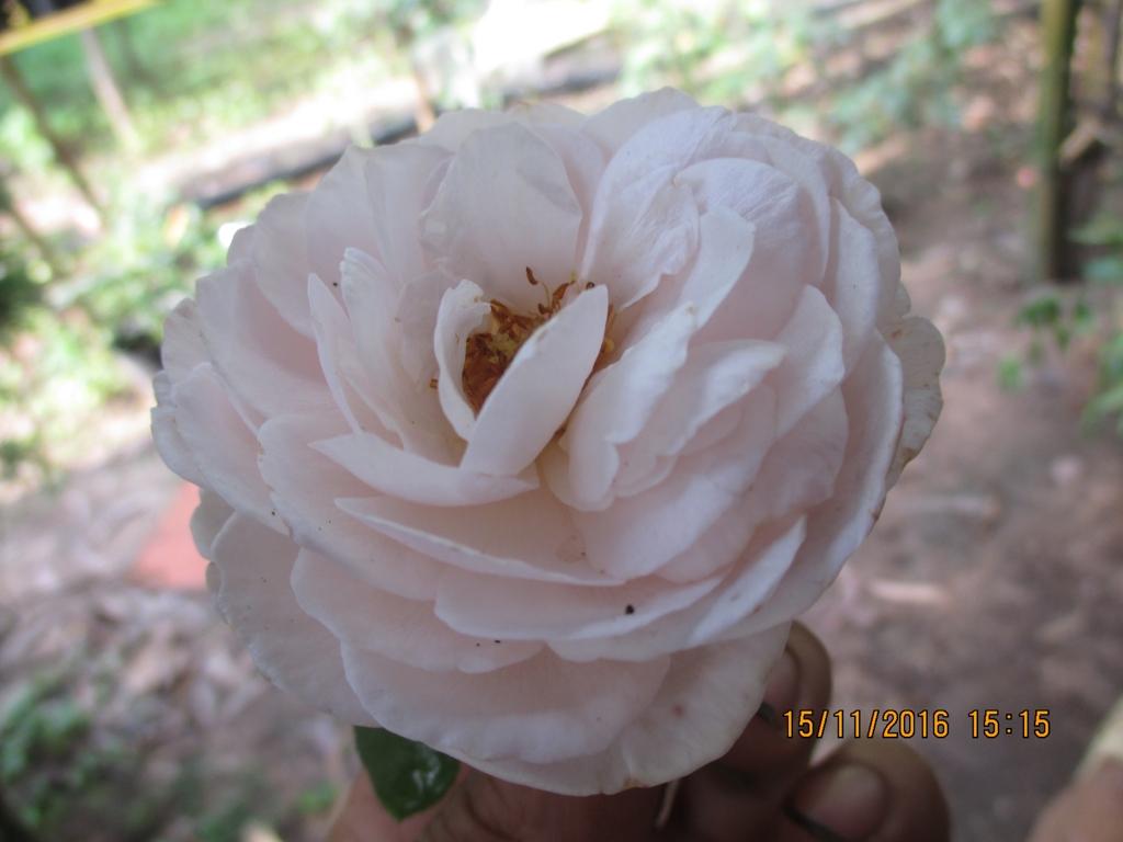 Hoa hồng ngoại Gentle Hermione Rose (David Austin)
