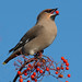 Waxwing. by David Rounce