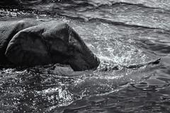 Elephant Trunk in Water