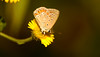 White Spotted Butterfly by Lorenzo Pacifico2011