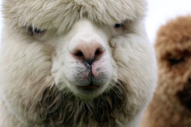 TOFT Luxury British Knitting Company Alpaca Farm