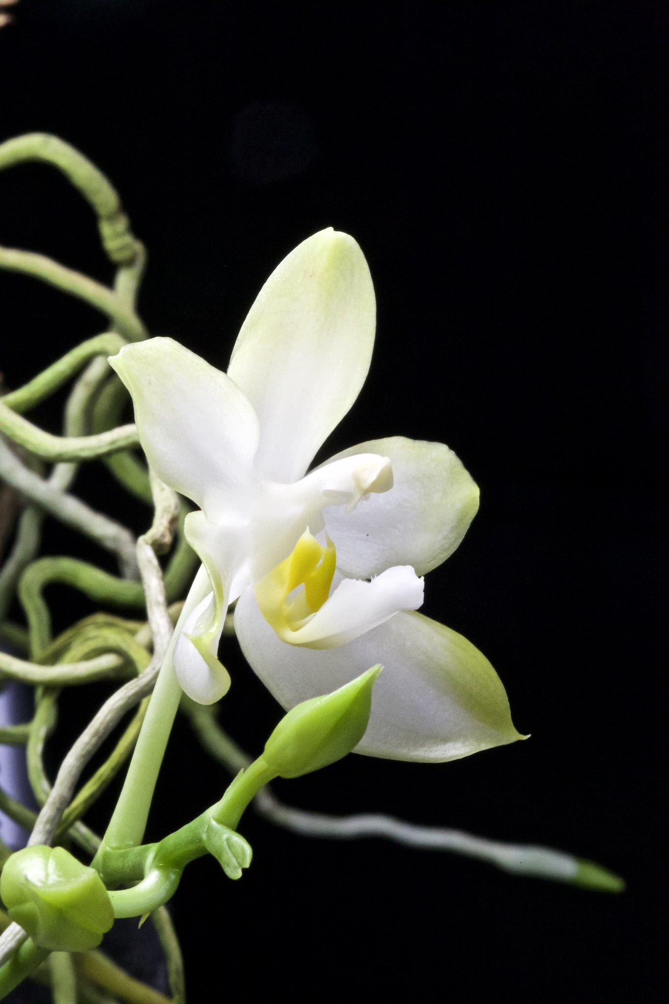 Phalaenopsis Cherry Spot f. alba 20593702646_34155b0f02_k