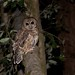 Northern Spotted Owl (Strix occidentalis caurina) by Mark Herse
