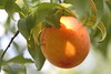 Rio Oso Gem Peach On The Hoof