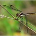 Female Slaty Skimmer (Libellula incesta)... by pieceoflace photography
