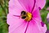 Bee on Flower 2 OriginalDSC_0435
