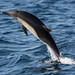 Long-beaked Common Dolphin by toryjk
