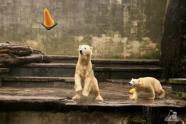 Eisbär Fiete im Zoo Rostock 17.10.2015  087