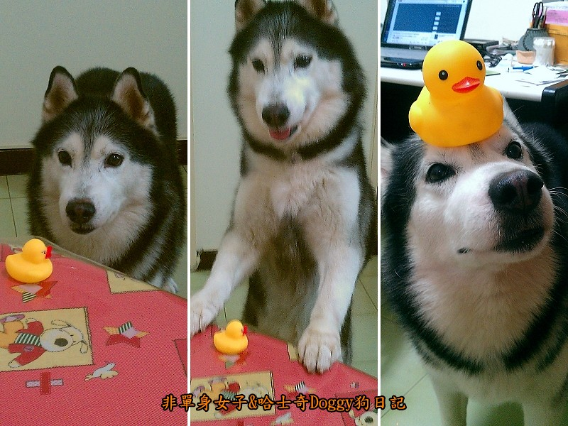 哈士奇doggy與啾啾玩具黃色小鴨06