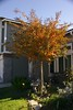 Finally our small tree at the front of our house start turing its leave color.