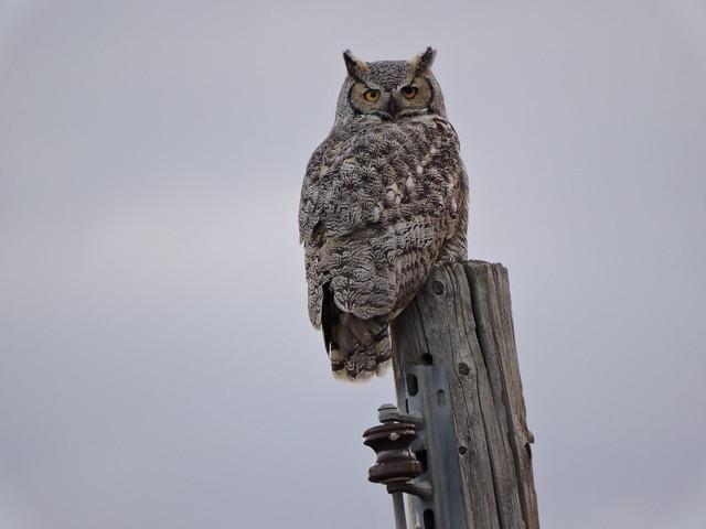 Great-horned Owl, Nikon COOLPIX P600