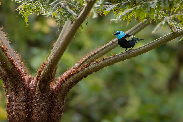 Blue-necked Tanager, Canon EOS-1D X MARK II, Canon EF 500mm f/4L IS II USM